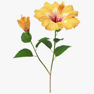 flowering hibiscus stem orange 3D model