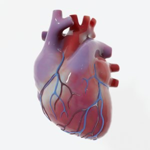modeled human heart 3D model