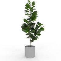 Ficus Lyrata v3