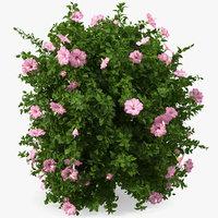 Blooming Hibiscus Bush Pink