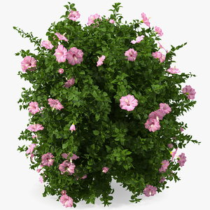 3D blooming hibiscus bush pink model