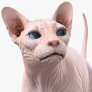 cream sphynx cat rigged 3D model