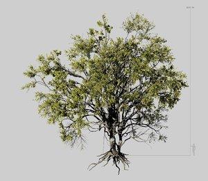 american elm tree 001 model