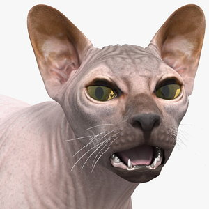 3D dark cream sphynx cat model