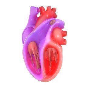 3D model modeled human heart section