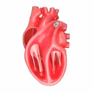 modeled human heart section 3D model
