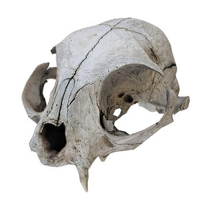 3D scanned real cat skull