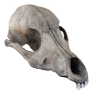 3D scanned real dog skull model