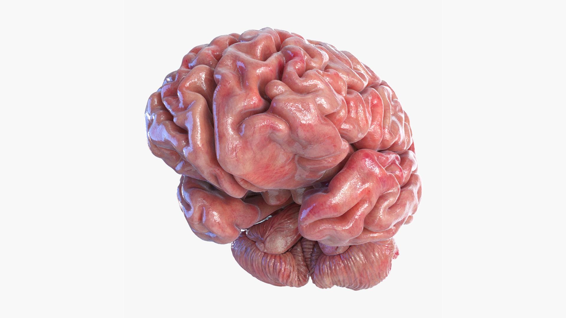 3D model brain cerebellum