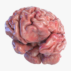 3D model brain cerebellum