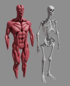 3D muscle bones human body