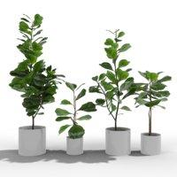 Ficus Lyrata Collection