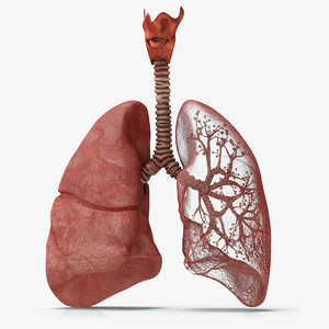 3D lungs bronchial tree bronchus