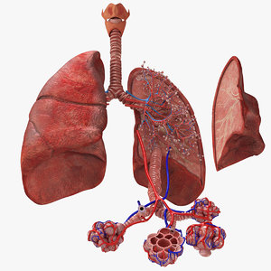 anatomy lungs 3D