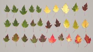 leaves pbr maple 3D