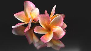 3D plumeria flowering tree model