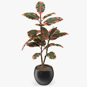 rubber tree ruby pot plants model