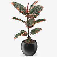 Ficus Elastica Ruby in Pot