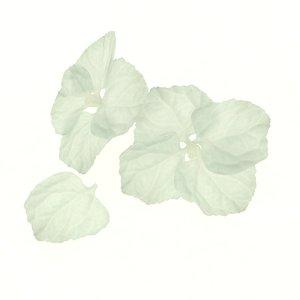 hydrangea macrophylla flower 3D