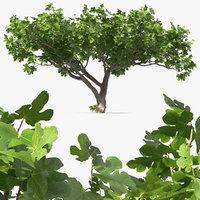Big Fig Tree