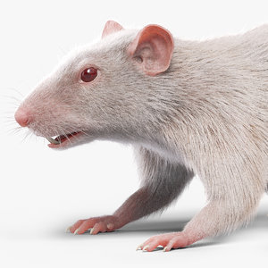 rat white fur 3D model