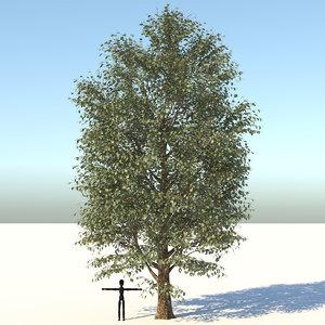 carolina poplar tree nature model