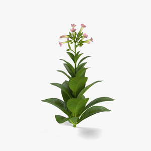 3D tobacco plant model