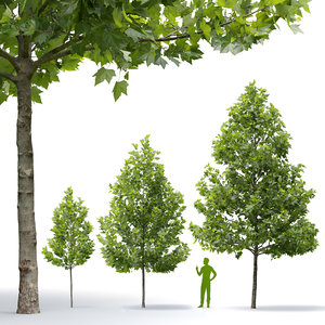 3D maple-leaved plane trees acerifolia