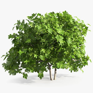 fig tree trunks 3D