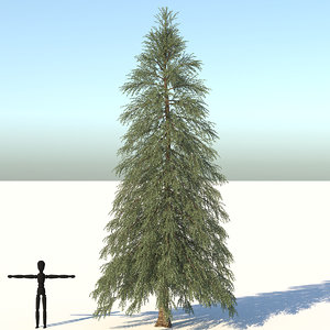 abies fraseri tree plant model