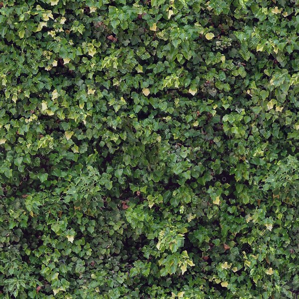 IV003 ivy plant texture