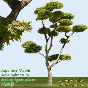 Japanese Mapple - High Resolution
