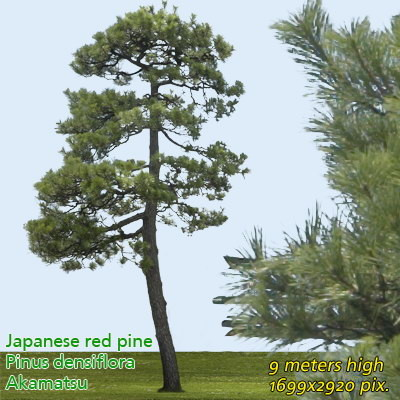 Japanese Red Pine 2 High Resolution