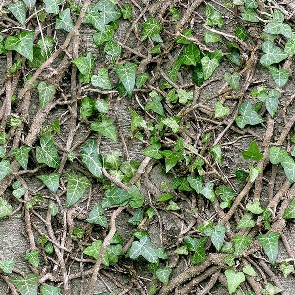 IV001 climbing ivy texture