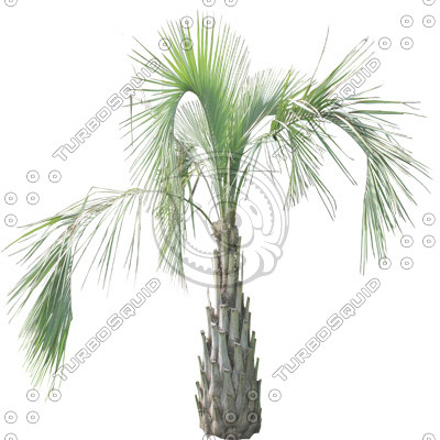 Tree_Palm_01.tga