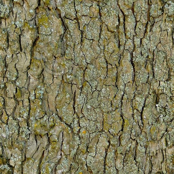 BRKT025 beech sycamore bark