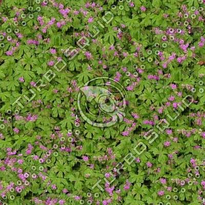Geranium sylvaticum.tga