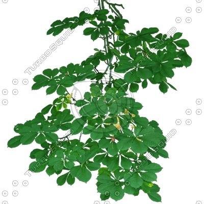 PLNT021 horse chestnut tree branch