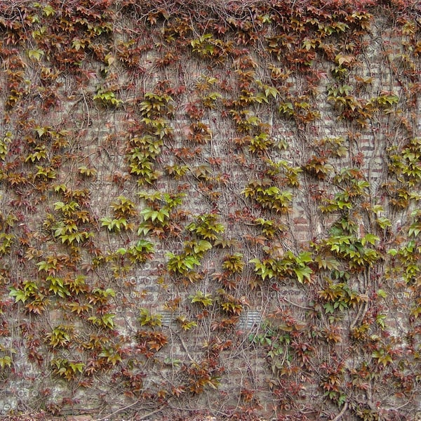 W288 ivy covered brick wall texture