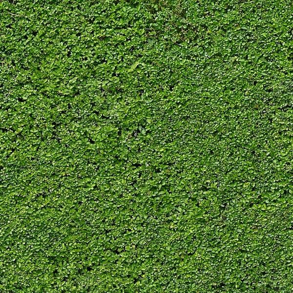 H006 privet hedge texture