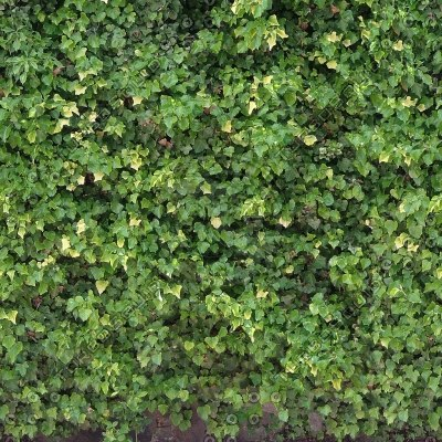 W120 Ivy Wall Texture