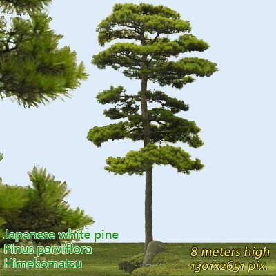 Japanese White Pine 2 ---------------------  High Resolution