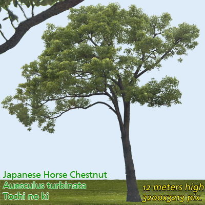 Japanese Horse Chestnut 2 ---------------  High Resolution