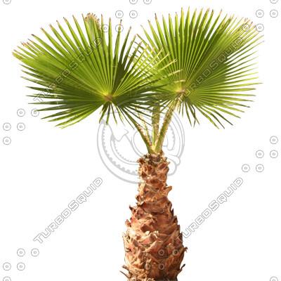 Palm_29.tga