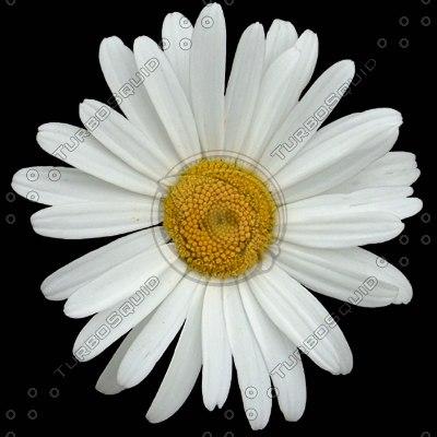 FLWR02 daisy flower texture