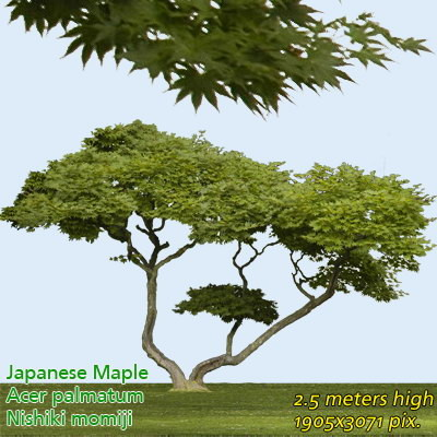 Japanese Maple 2 High Resolution