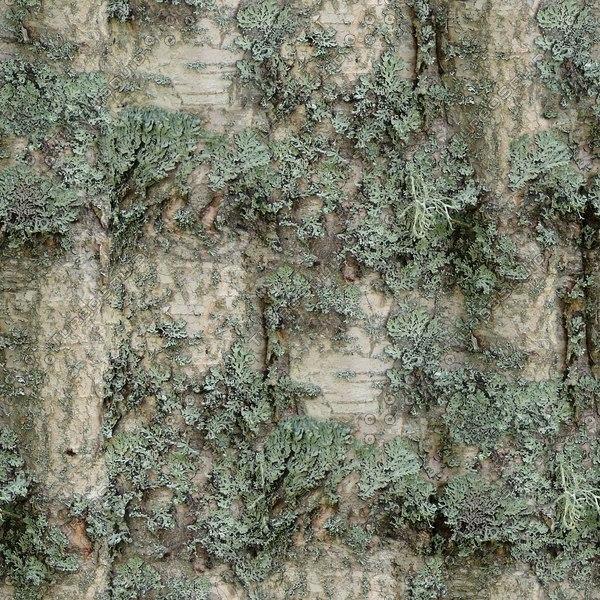 BRKT030 silver birch bark