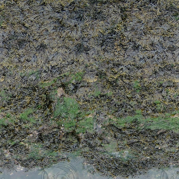G386 seaweed harbor texture