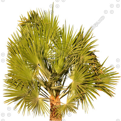 Palm_20.tga