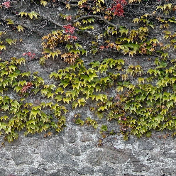 W111 Ivy Covered Wall texture